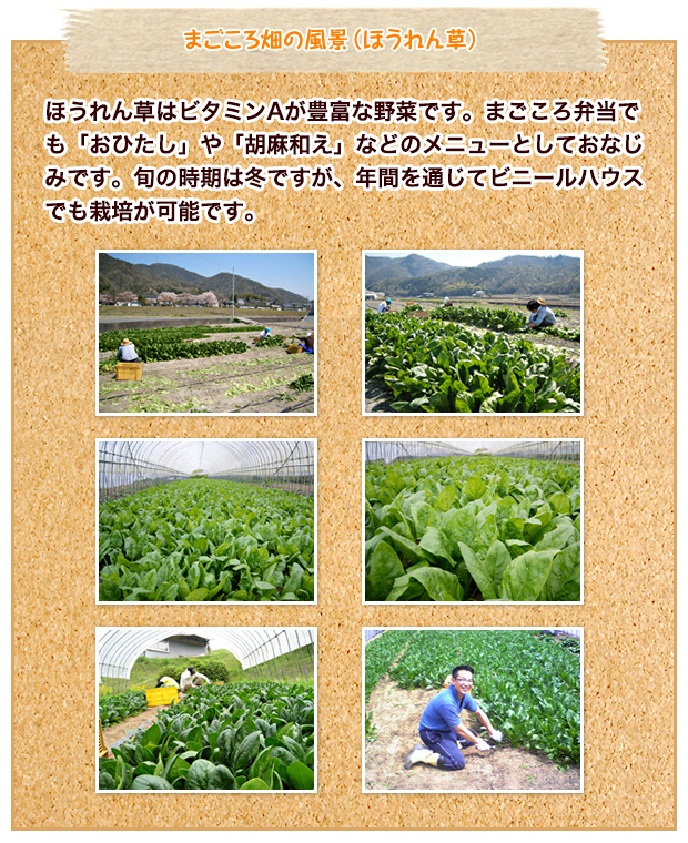 まごころ畑の風景(ほうれん草)